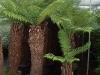 Diksonia antartica (Felce arborea)
