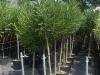 Nerium oleander alb