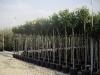 Nerium oleander alberello