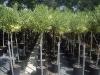 Nerium oleander varieg