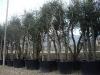Quercus suber esemplari
