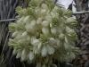 Yucca rostrata (flower)