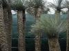 Yucca rostrata h 2,5